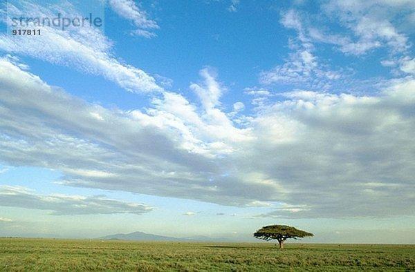 Akazie Baum. Serengeti Nationalpark. Tansania
