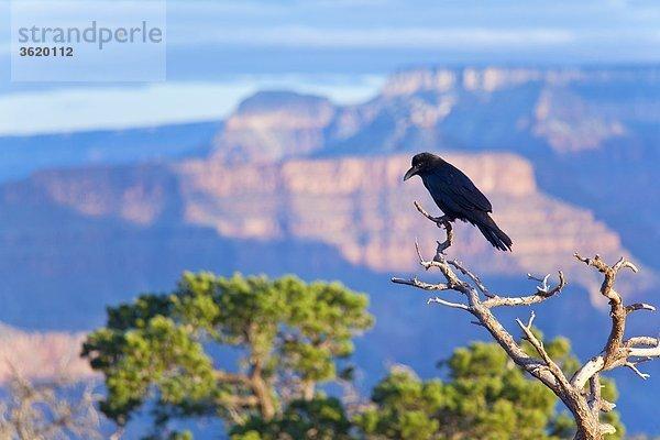 Rabe, Grand Canyon, Arizona, USA