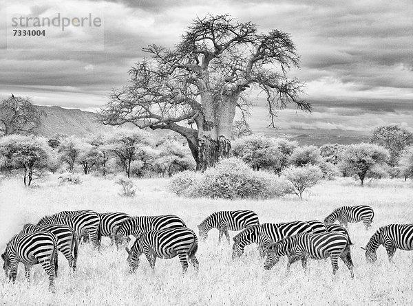 Schwarzweiß ,Landschaftlich schön, landschaftlich reizvoll ,Baum ,Zebra ,Amboseli Nationalpark ,Afrika ,Infrarot ,Kenia