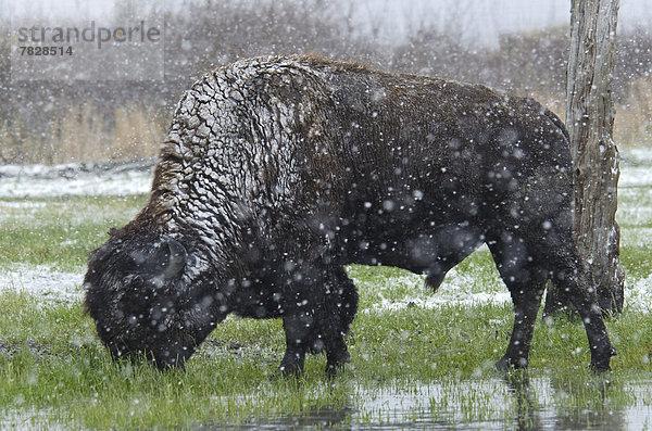 Vereinigte Staaten von Amerika, USA ,Waldbison, Bison bison athabascae ,Schutz ,Tier ,Alaska ,Bison ,Schnee ,Wildtier,Vereinigte Staaten von Amerika, USA ,Waldbison, Bison bison athabascae ,Schutz ,Tier ,Alaska ,Bison ,Schnee ,Wildtier