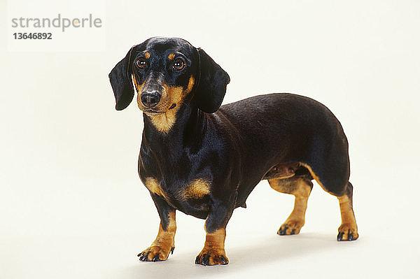 Dackel,Freundschaft,Haustier,Hund,Jagdhund,Konzept