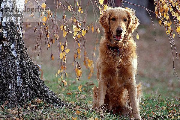 Außenaufnahme,Farbe,Freundschaft,gold,Golden Retriever,Haustier