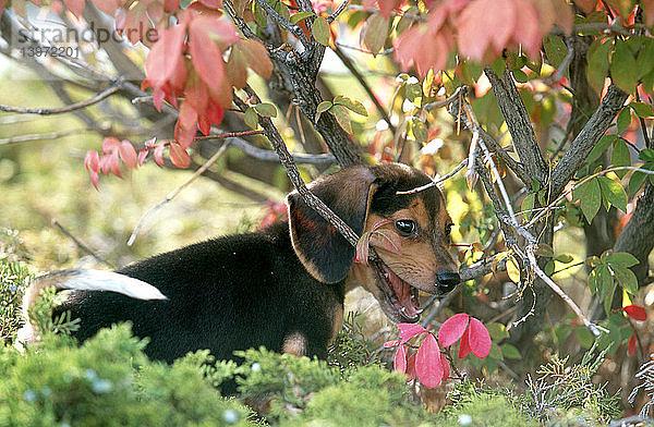 Außenaufnahme,Beagle,beißen,Freundschaft,Haustier,Hund