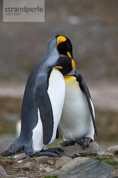 Aptenodytes patagonica,flirten,Freund,Freundschaft,Konzept,Kultur