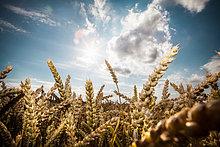 Weizen im Feld