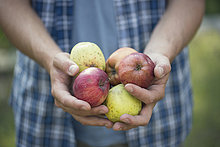 Hände eines jungen Bauern mit Äpfeln, Premosello, Verbania, Piemonte, Italien