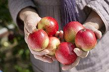 Schweden, Vastergotland, Tarby, Nahaufnahme der älteren Frau mit reifen Äpfeln